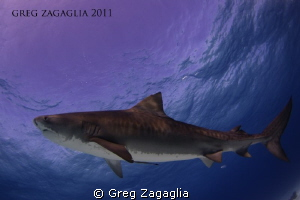 Tiger Beach 2011 by Greg Zagaglia 